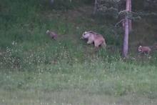 Boz ayılar yiyecek ararken böyle görüntülendi!