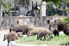 Bodrum'u domuzlar bastı! İşte korkutan o anlar
