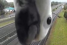 Meraklı papağan hız kamerasına takıldı