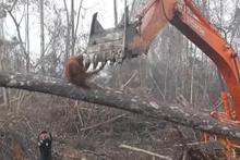 Orangutan, yaşam alanını yok eden kepçeye böyle tepki gösterdi