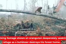 Orangutan, iş makinesine karşı böyle direndi!