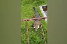 Evcil timsah görenleri hayrete düşürüyor!