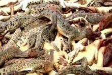 İntikam isteyen köylüler timsah çiftliği bastı, 292 timsahı katletti!