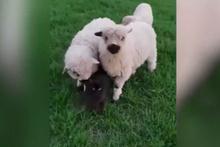 Kedi ve koyunların içinizi ısıtacak dostluğu!