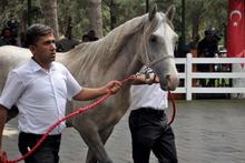 Safkan Arap taylarından 4,9 milyon lira gelir!