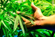 Bilim adamları uyarıyor: Marihuana faydalı değil!