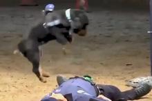 Eğitimli köpekten yere yığılan polise kalp masajı
