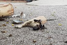 Anneleri ölen 6 civcive evin köpeği annelik yapıyor