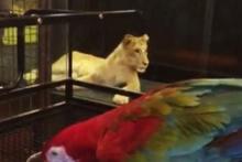 Nargile kafedeki aslanın sırrı çözüldü!