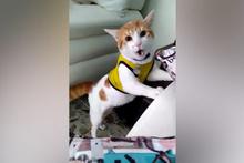 Gol diye bağıran kedi sosyal medyaya damga vurdu