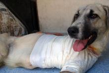 Kuyruğu kesilmiş halde bulunan köpeğin ayağı tamamen kesildi