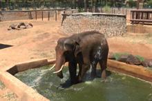 Sıcaktan etkilenen 5 tonluk filler suyla serinletiliyor