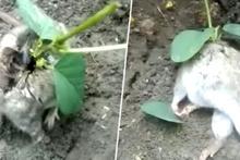 Sırtına bitki yeşeren sıçan, izleyenleri şaşkına çevirdi