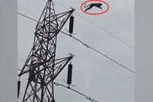 100 metre rekortmeni maymun!