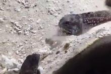 Akvaryumda yaşayan 2 balığın güldüren kavgası!