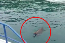 Rize'de kaçarak denize giren kurbanlık dana Trabzon'da ortaya çıktı