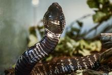 Hindistan'da sel nedeniyle yılanlar sokağa yayıldı