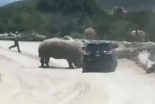 Safari sırasında korkunç olay! Gergedan araçtakilere böyle saldırdı