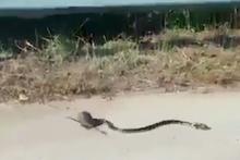 Yavrusunu yılana kaptırmamak için böyle mücadele etti!