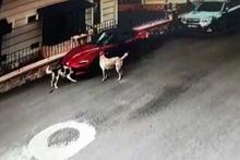 Lüks aracı köpekler parçaladı
