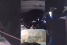 5 Büyükbaş hayvanı minibüse böyle sığdırdılar