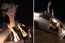 Arabada sıkışan devenin yürek sızlatan görüntüleri!