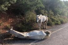 Büyükada'da yaralı atın içler acısı hali vicdanları sızlattı!