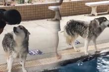 Havuza girmemek için konuşan köpek
