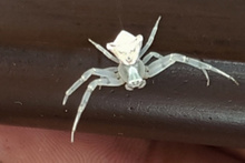 İnsan yüzlü örümcek hayrete düşürdü sahibi et ile besliyor