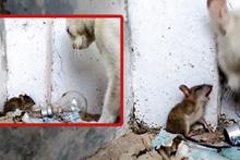 Köşeye sıkışan fareyi affeden kedi