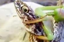 Peygamberdevesi böceği yılanı böyle yedi