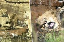 Erkek aslanı öldürmeye çalışan dişi aslanlar