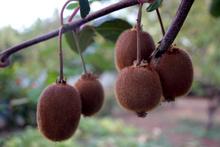 Bingöl'de ilk kez kivi yetiştirildi sonuç bakın nasıl oldu!