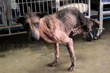 İki bacağını kaybeden köpek hayata tutunmaya çalışıyor