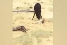 Yavrusunu öldüren kurdu yerden yere vurdu!