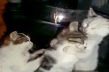 İki kedinin annelerine masaj yaparken ki şirin halleri sosyal medyada ilgi odağı oldu