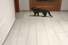 Kedi değil panter!