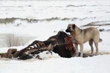 Köpekler yavrularını beslemek için leş yiyor! Konya'daki çöplükte çekildi