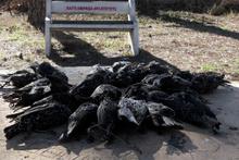 Sığırcık kuşlarının esrarengiz ölümü! Hastane bahçesi onlarla doldu