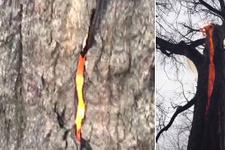 Şeytan ağacı şaşkına çevirdi! Cayır cayı yanıyor