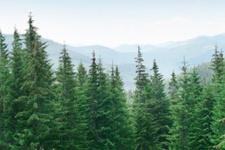 Yılbaşı öncesi çam ağacı nöbeti