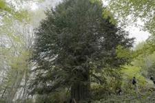 Türkiye'nin en yaşlı ağacı bakın kaç yaşında!