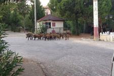 Kent merkezine inen domuzlar polise saldırdı!