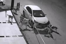 Köpekler otomobili intikam için parçalamış!
