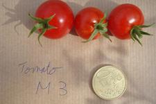 Mars toprağına ekilen domateslere bakın