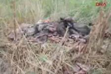 Aydın İncirliova'da parçalanmış 5 domuz iskeleti