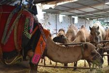 Ankara'da kurbanlık develere büyük ilgi