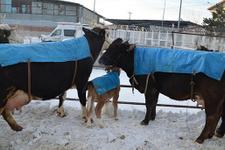 Soğuk havalarda hayvanlara battaniyeli koruma