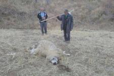 Çorum'da koyun sürüsüne kurtlar saldırdı