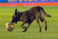 Polis köpeğinin canı maç izlemekten sıkılırsa…
